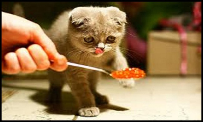 When Can Kittens Start Eating Cat Food