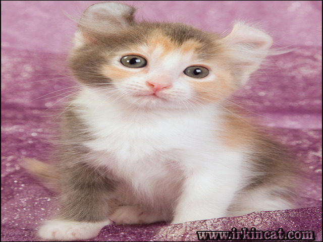 american-curl-kittens-for-sale American Curl Kittens For Sale Help!