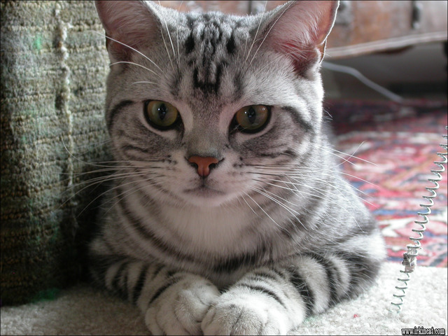 american-shorthair-kittens-for-sale The Appeal of American Shorthair Kittens For Sale