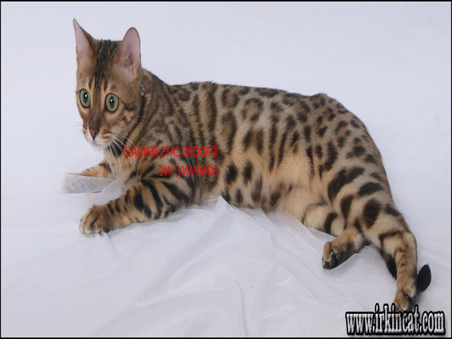 bengal-cats-for-sale-in-michigan What Everybody Dislikes About Bengal Cats For Sale In Michigan and Why