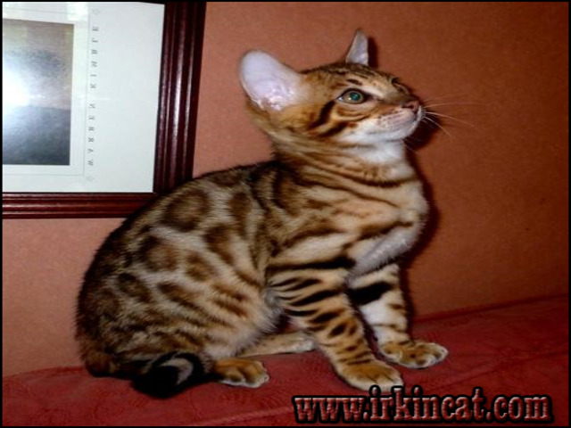bengal-cats-for-sale-in-pa What You Don't Know About Bengal Cats For Sale In Pa May Surprise You