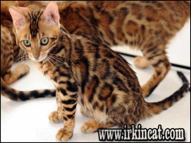 bengal-kittens-for-sale-in-michigan Unusual Article Uncovers the Deceptive Practices of Bengal Kittens For Sale In Michigan