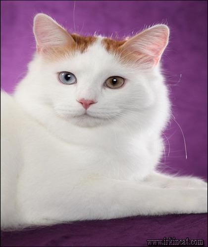 turkish-van-kittens-for-sale Top Advice on Turkish Van Kittens For Sale