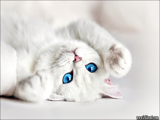 white-kittens-with-blue-eyes The Do's and Don't of White Kittens With Blue Eyes