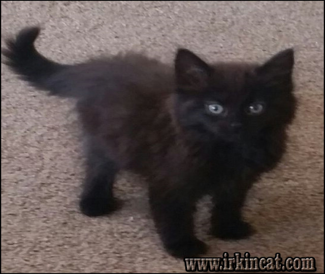 black-maine-coon-kittens-for-sale Finding the Best Black Maine Coon Kittens For Sale