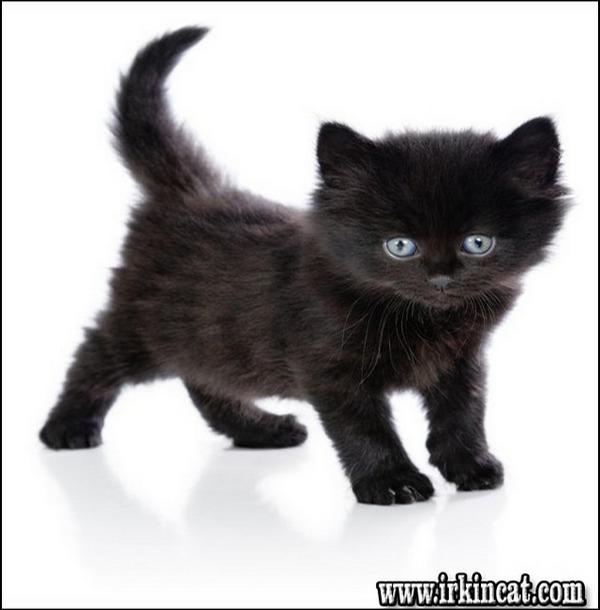boy-black-cat-names The Undeniable Reality About Boy Black Cat Names That No One Is Telling You - www.irkincat.com
