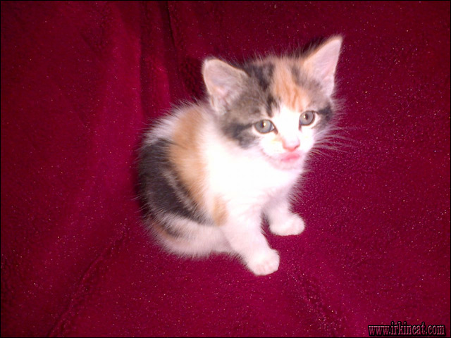 calico-kitten-for-sale A Guide to Calico Kitten For Sale