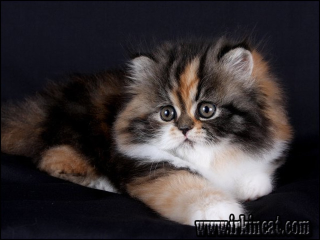 calico-persian-kittens-for-sale The Most Ignored Answer for Calico Persian Kittens For Sale