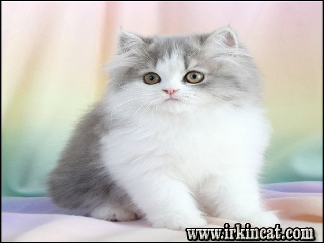 chinchilla-persian-kittens-for-sale Chinchilla Persian Kittens For Sale - a Quick Overview