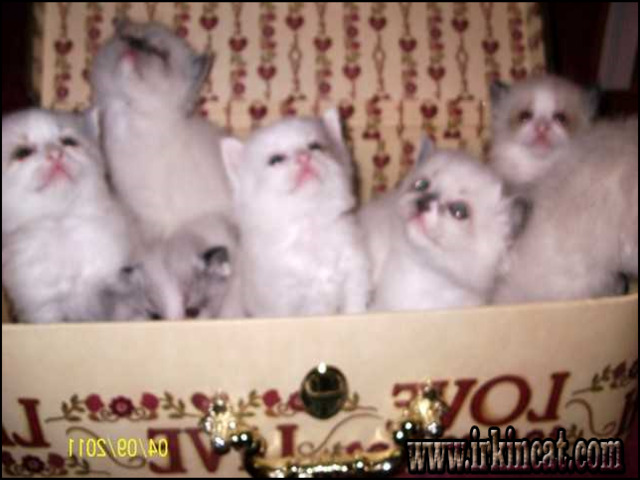 Shortcuts to Craigslist Kittens For Sale Only the Pros Know