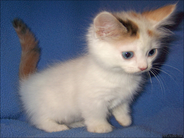 dwarf-kittens-for-sale Things You Should Know About Dwarf Kittens For Sale