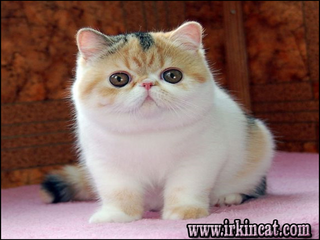 New Ideas Into Exotic Shorthair Kitten For Sale Never Before