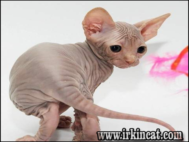 hairless-kittens-for-sale Hairless Kittens For Sale - a Quick Overview
