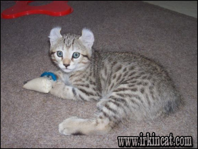 highland-lynx-kittens-for-sale The Ins and Outs of Highland Lynx Kittens For Sale and What You Should Do Today