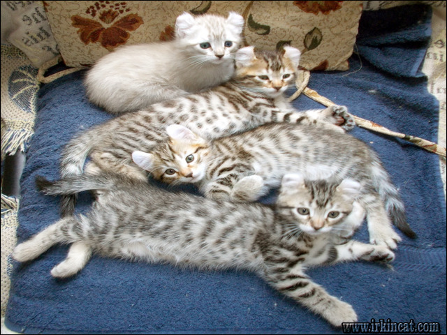 highlander-kittens-for-sale Finding the Best Highlander Kittens For Sale