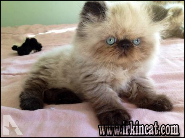 himalayan-kittens-for-sale-in-pa The Benefits of Himalayan Kittens For Sale In Pa