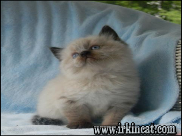 himalayan-kittens-for-sale-ohio Who Else Wants to Learn About Himalayan Kittens For Sale Ohio?
