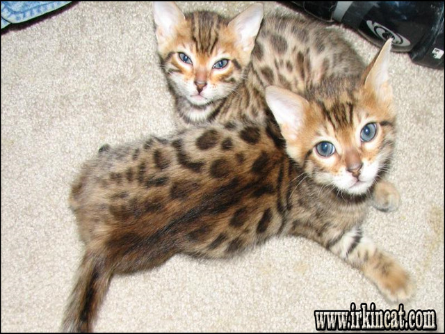 kittens-for-sale-colorado-springs The Insider Secrets for Kittens For Sale Colorado Springs Revealed