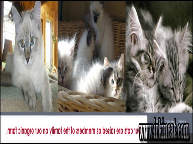 kittens-for-sale-in-vt Kittens For Sale In Vt Secrets That No One Else Knows About - www.irkincat.com