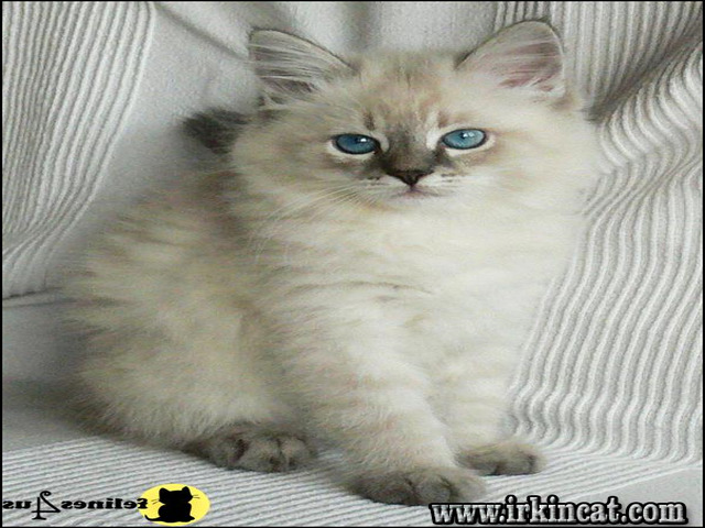 Ragdoll Kittens For Sale Las Vegas