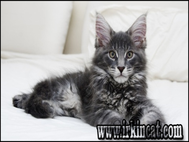 maine-coon-cats-adoption The Hidden Facts About Maine Coon Cats Adoption - www.irkincat.com