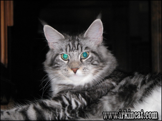maine-coon-kittens-for-sale-nc Lies You've Been Told About Maine Coon Kittens For Sale Nc