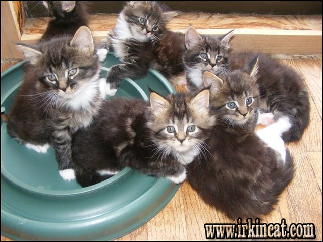 Kitten For Sale In Maine