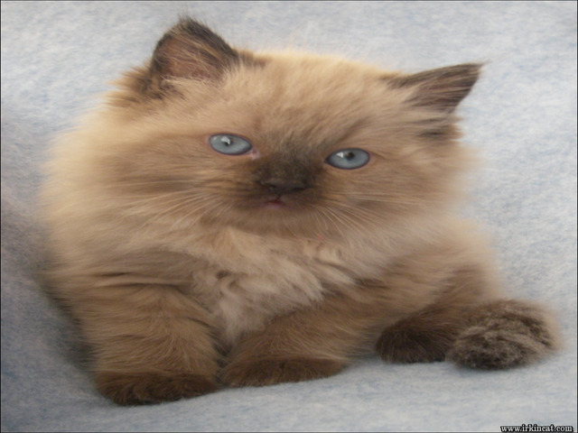 mink-ragdoll-kittens-for-sale Mink Ragdoll Kittens For Sale Tips