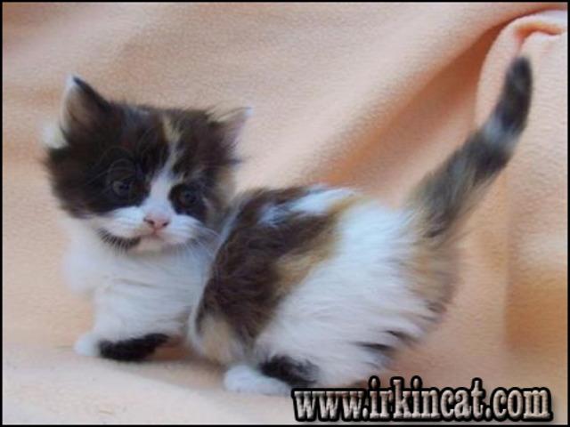 munchkin-kitten-for-sale Munchkin Kitten For Sale - a Quick Outline