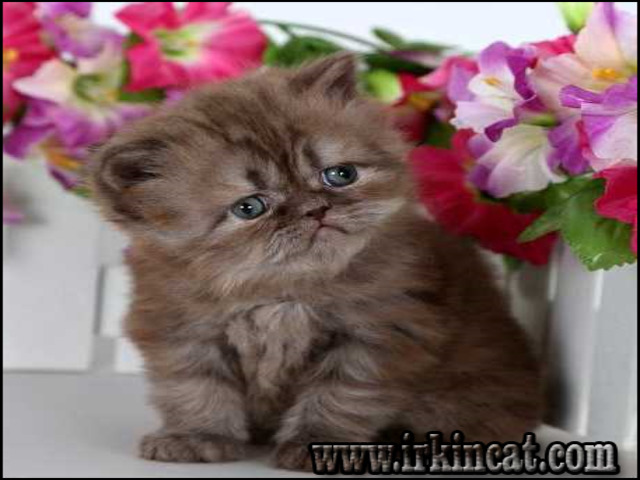 The Chronicles of Persian Kittens For Sale Florida | irkincat.com