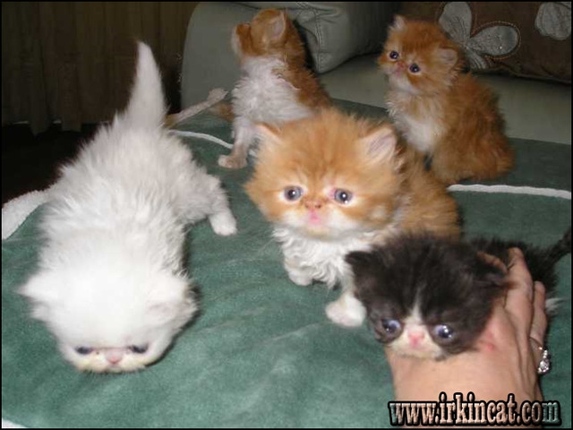 persian-kittens-for-sale-in-georgia Why Absolutely Everybody Is Talking About Persian Kittens For Sale In Georgia