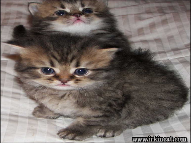 persian-kittens-for-sale-in-illinois The Secret of Persian Kittens For Sale In Illinois That No One Is Talking About