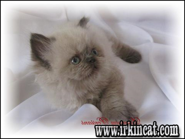 persian-kittens-for-sale-in-ohio Reported Buzz on Persian Kittens For Sale In Ohio Uncovered
