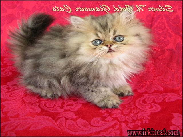 persian-kittens-for-sale-in-texas Persian Kittens For Sale In Texas Secrets