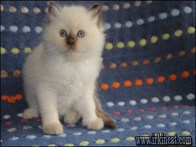 ragdoll-kittens-for-sale-az New Step by Step Roadmap for Ragdoll Kittens For Sale Az