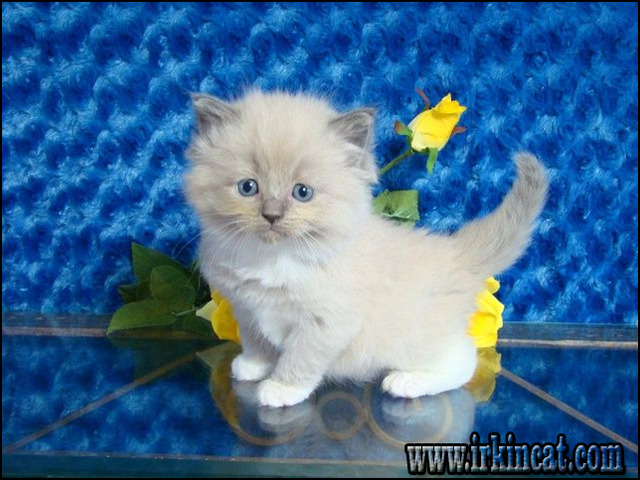 Ragdoll For Sale in Florida - Hoobly Classifieds
