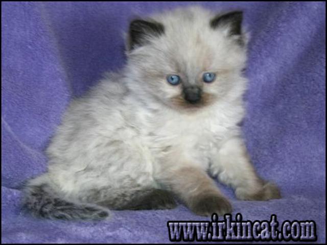 ragdoll-kittens-for-sale-in-ga A Startling Fact about Ragdoll Kittens For Sale In Ga Uncovered