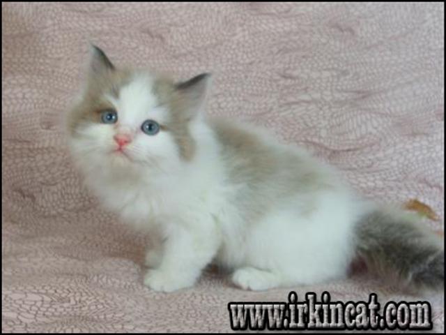 ragdoll-kittens-for-sale-in-tn The 5-Minute Rule for Ragdoll Kittens For Sale In Tn