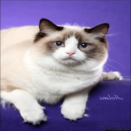 ragdoll-kittens-for-sale-texas The New Fuss About Russian Blue Kittens For Sale Ma - www.irkincat.com