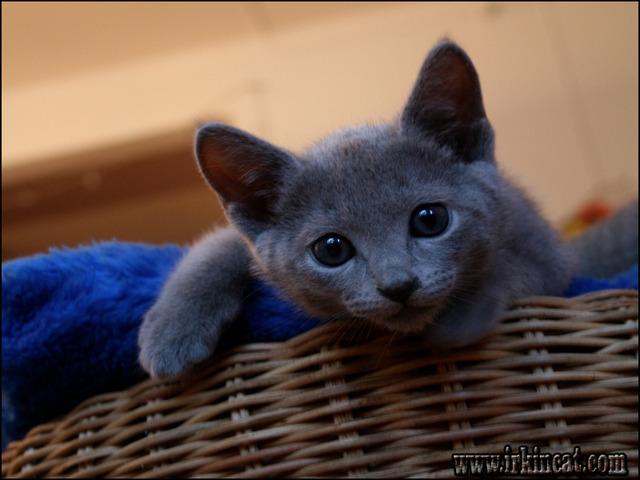 russian-blue-kitten-for-sale Understanding Russian Blue Kitten For Sale