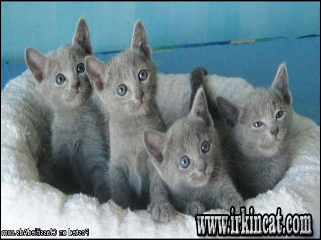 russian-blue-kittens-for-sale-ma The New Fuss About Russian Blue Kittens For Sale Ma