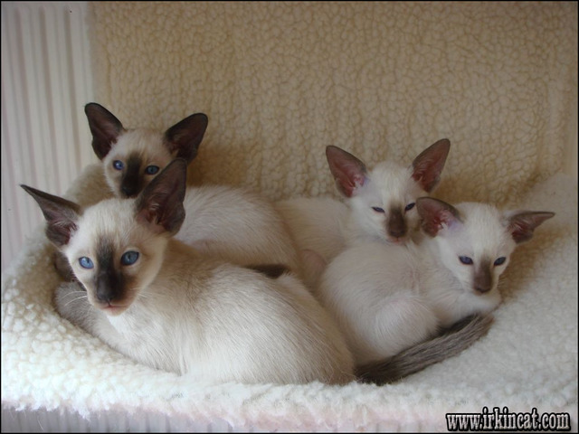 siamese-kittens-for-free Whatever They Told You About Siamese Kittens For Free Is Dead Wrong...And Here's Why