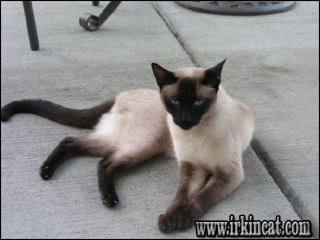 siamese-kittens-for-sale-in-michigan The Insider Secret on Siamese Kittens For Sale In Michigan Discovered
