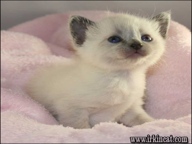 siamese-kittens-for-sale-indiana Purchasing Siamese Kittens For Sale Indiana