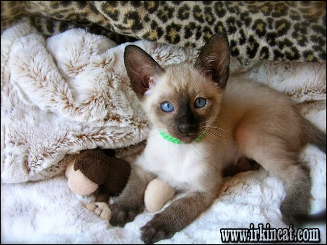 siamese-kittens-for-sale-mn The Most Popular Siamese Kittens For Sale Mn