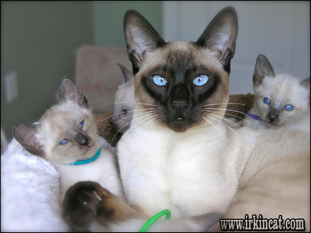siamese-kittens-for-sale-near-me Siamese Kittens For Sale Near Me - What Is It?