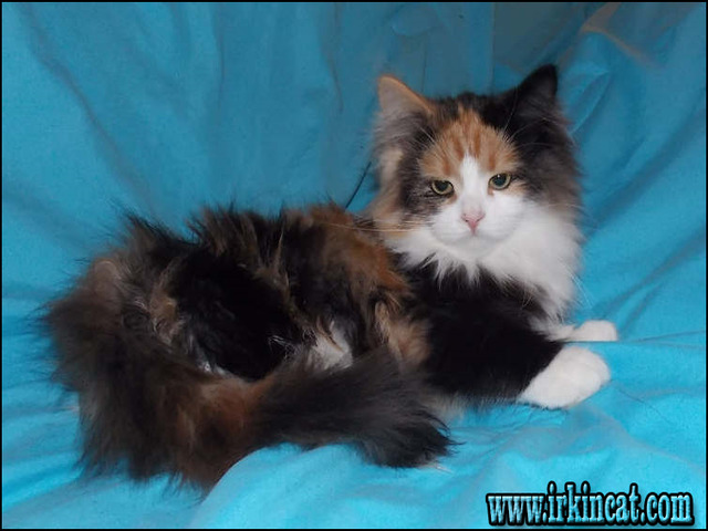 What Is So Fascinating About Siberian Kittens For Sale Ohio