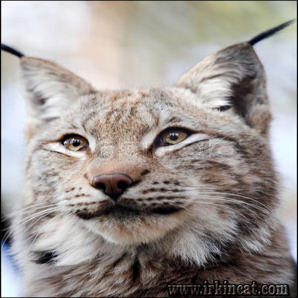 siberian-lynx-kittens-for-sale The Downside Risk of Siberian Lynx Kittens For Sale That No One Is Talking About