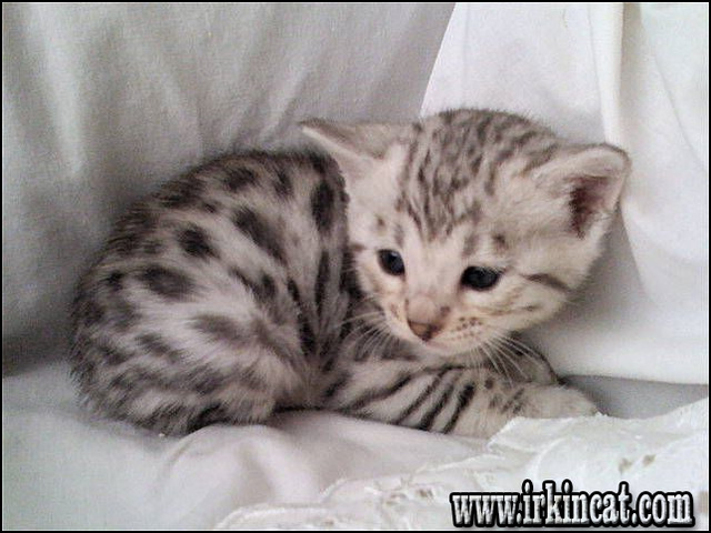 silver-bengal-kittens-for-sale The 5-Minute Rule for Silver Bengal Kittens For Sale