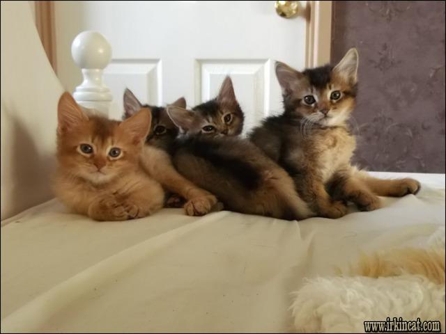 somali-kittens-for-sale Somali Kittens For Sale: No Longer a Mystery
